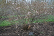 Prunus 'Jan' - Bush Cherry