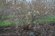 Prunus 'Jan' - Bush Cherry