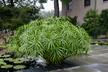 Cyperus alternifolius 'Nanus' - Dwarf Umbrella-Plant