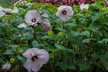 Hibiscus moscheutos 'Luna Pink Swirl' - Common Rose Mallow