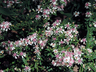 Symphyotrichum lateriflorum 'Lady in Black' - Calico Aster
