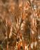 Andropogon gyrans - Elliott's Beardgrass