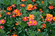 Tagetes patula 'Disco Red' - French Marigold