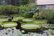Outdoor Waterlily Display
