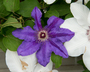 Clematis 'Dorota' (Early Large-flowered Group) - Early Large-Flowered Clematis