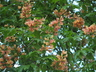 Aesculus x bushii - Arkansas Buckeye