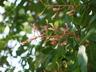Aesculus x hybrida - Hybrid Buckeye