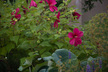 Hibiscus 'Moy Grande' - Rose Mallow