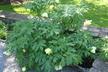 Paeonia 'Argosy' - Hybrid Tree Peony