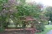Viburnum plicatum f. tomentosum - Doublefile Viburnum