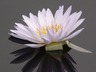 Nymphaea 'Bob Trickett' - Tropical Day-Flowering Waterlily