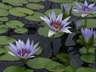 Nymphaea colorata - African Waterlily
