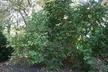 Viburnum opulus - European Cranberrybush Viburnum