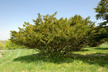 Taxus cuspidata 'Capitata' - Upright Japanese Yew