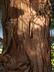 Chamaecyparis obtusa - Hinoki False Cypress