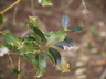Ilex aquifolium 'Pyramidalis Compacta' - English Holly