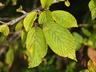 Viburnum plicatum f. tomentosum 'St. Keverne' - Doublefile Viburnum