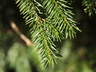 Picea abies 'Clanbrassiliana' - Norway Spruce