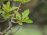 Crataegus x grignonensis - Hawthorn
