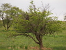 Crataegus x mordenensis 'Toba' - Hawthorn