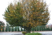 Fagus sylvatica 'Rotundifolia' - European Beech