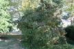 Viburnum dilatatum - Linden Viburnum