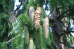 Picea abies 'Cranstonii' - Norway Spruce