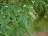 Acer palmatum 'Shishigashira' - Japanese Maple