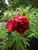 Paeonia 'Black Pirate' - Hybrid Tree Peony