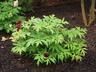 Paeonia 'Charioteer' - Hybrid Tree Peony