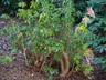 Pieris japonica cv. - Japanese Pieris