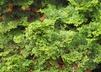 Chamaecyparis obtusa 'Repens' - Hinoki False Cypress