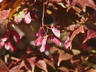 Acer palmatum 'Oshio-Beni' - Japanese Maple