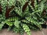 Calathea lancifolia - Calathea