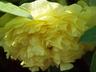 Paeonia 'Alice Harding' - Hybrid Tree Peony