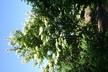 Syringa reticulata var. mandschurica - Amur Lilac