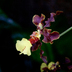 Oncidium grex Kenny Ku