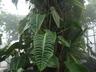 Anthurium veitchii - Veitch Anthurium