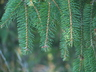 Picea abies 'Finedonensis' - Norway Spruce