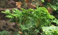 Chamaecyparis obtusa 'Gracilis Nana Compacta' - Dwarf Hinoki False Cypress