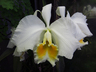 Cattleya (Cattleya Luxury × Cattleya mossiae)