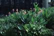 Canna 'Erebus' - Longwood Hybrid Aquatic Canna