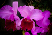 Cattleya grex Grape Crunch
