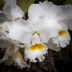 Cattleya (Cattleya Joyce Hannington × Cattleya Linda Samborowskii)