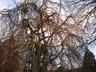 Fagus sylvatica 'Pendula' - Weeping Beech