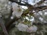 Prunus serrulata 'Ojochin' - Japanese Flowering Cherry