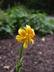 Lilium hansonii - Japanese Turk's-Cap Lily