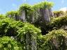 Wisteria floribunda 'Macrobotrys' - Japanese Wisteria