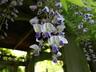 Wisteria floribunda 'Longissima Alba' - Japanese Wisteria