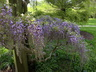 Wisteria floribunda 'Royal Purple' - Japanese Wisteria
